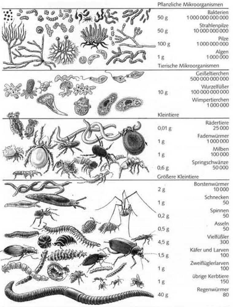 MikroOrganismen der Keimschicht